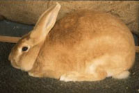 Palomino Rabbit